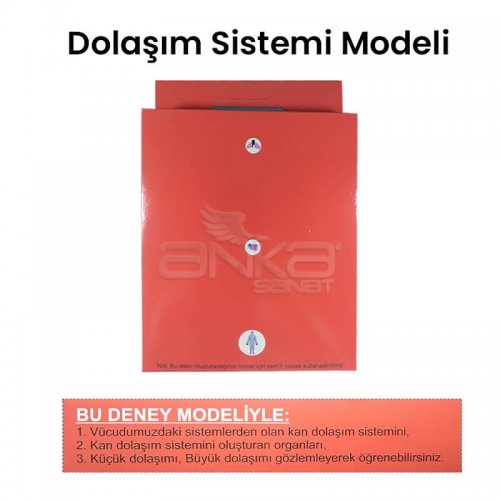 Dolaşım Sistemi Modeli